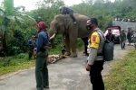 Tim Gabungan Giring Gajah Liar di Pintu Rime Gayo