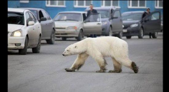 Beruang Ngamuk Masuk Kota Terkam 4 orang hingga Luka-luka