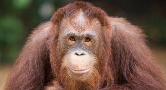 Puluhan Orangutan Jalani Tes COVID-19