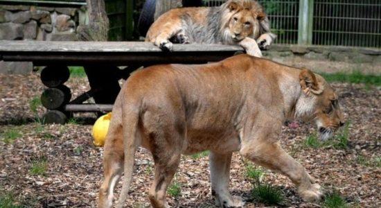 6 Singa dan 3 Harimau di Kebun Binatang Terpapar COVID-19